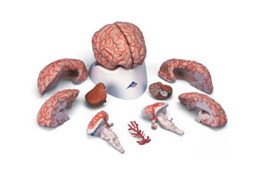 Deluxe Brain with Arteries 9-Part (natural size)