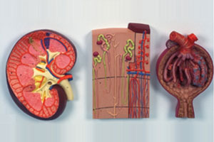 Kidney Section, Nephrons &glomerus